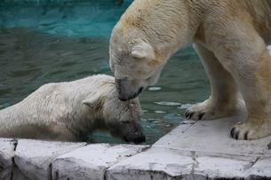 白熊の写真素材 [FYI00437784]