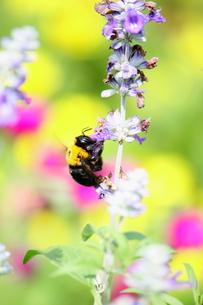 蜂の写真素材 [FYI00437853]
