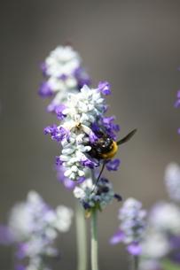 蜂と花の写真素材 [FYI00437863]