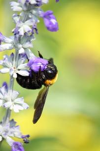 蜂の写真素材 [FYI00437868]