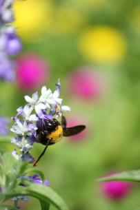 蜂の写真素材 [FYI00437871]