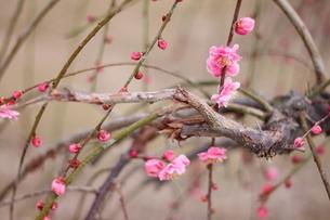 梅の花の写真素材 [FYI00437924]
