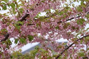 桜の写真素材 [FYI00437997]