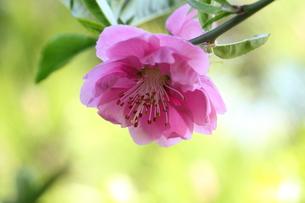 桜の写真素材 [FYI00438022]