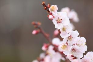 桜の写真素材 [FYI00438026]
