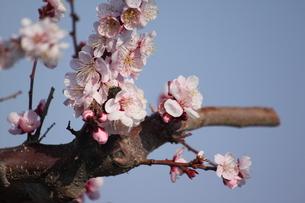 桜の写真素材 [FYI00438028]