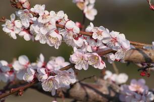 桜の写真素材 [FYI00438050]