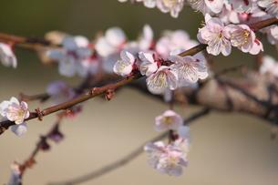 桜の写真素材 [FYI00438051]