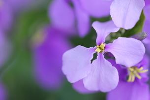 紫の花の写真素材 [FYI00438078]