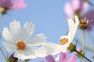 白いコスモスの花の写真素材 [FYI00438148]