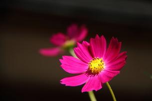 コスモスの花の写真素材 [FYI00438149]