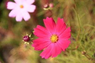コスモスの花の写真素材 [FYI00438166]