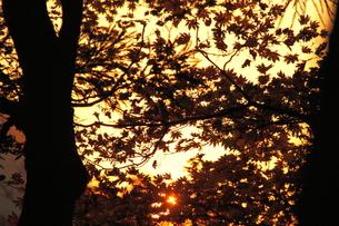 秋の紅葉のシルエットの写真素材 [FYI00438191]