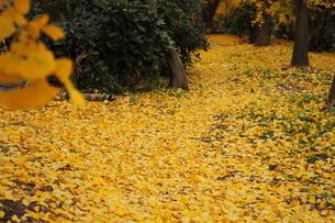黄色い絨毯の写真素材 [FYI00438210]