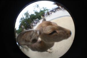 おねむ鹿の写真素材 [FYI00438257]