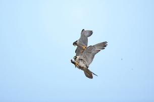 ハヤブサの空中餌渡しの写真素材 [FYI00438429]