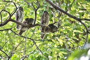 アオバズク幼鳥の写真素材 [FYI00438534]