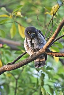 アオバズク幼鳥の写真素材 [FYI00438545]