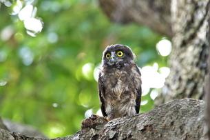 アオバズク幼鳥の写真素材 [FYI00438549]