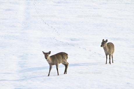 雪原の日本ジカの写真素材 [FYI00438687]