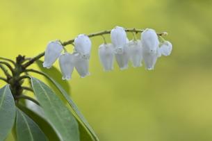 アセビの花の写真素材 [FYI00438939]