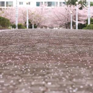 桜の花びらの写真素材 [FYI00438941]