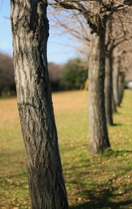 公園のイチョウ並木の写真素材 [FYI00438970]