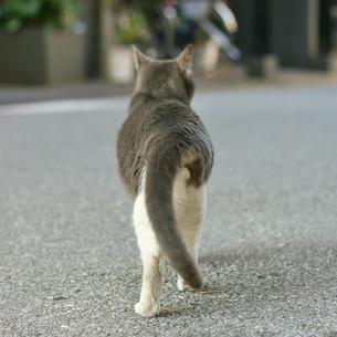 散歩する猫の写真素材 [FYI00439007]