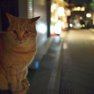 ポーズをとる猫(正面)の写真素材 [FYI00439022]