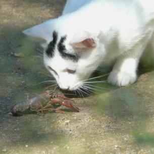 ザリガニと遊ぶ猫の写真素材 [FYI00439030]