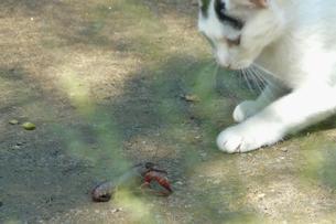 ザリガニと遊ぶ猫の写真素材 [FYI00439050]