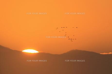 日の出とコハクチョウの群れの写真素材 [FYI00439165]