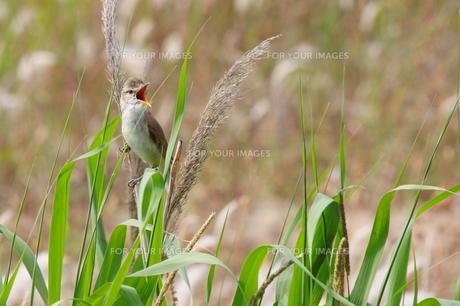 初夏に自慢の歌声を披露するオオヨシキリの写真素材 [FYI00439184]