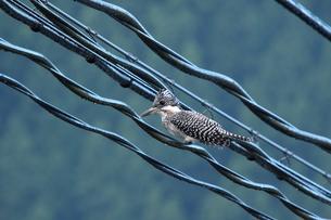 お気に入りの電線で休憩中のヤマセミの写真素材 [FYI00439191]
