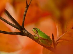 木に登ったアマガエルの写真素材 [FYI00439314]