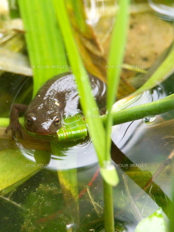 池から顔を出したイモリの写真素材 [FYI00439320]