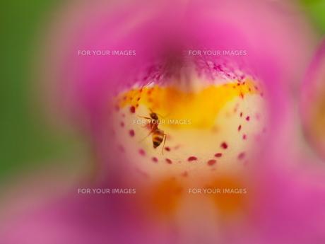 花の中のアリの写真素材 [FYI00439321]