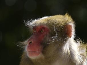ボス猿の眼差しの写真素材 [FYI00439323]