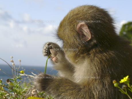 小猿の草遊びの写真素材 [FYI00439324]