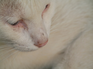野良猫の瞳の写真素材 [FYI00439326]