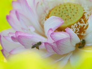 蓮の花とミツバチの写真素材 [FYI00439327]
