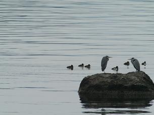 春の湖の鳥達の写真素材 [FYI00439328]