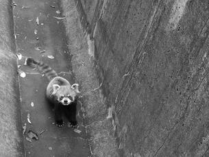 外に行きたいレッサーパンダの写真素材 [FYI00439331]