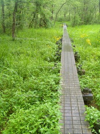 緑に囲まれた木道の写真素材 [FYI00439339]