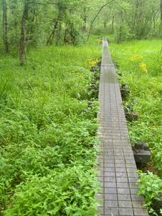 緑に囲まれた木道の素材 [FYI00439339]