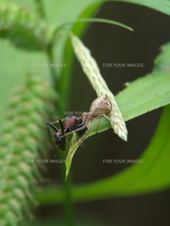 アリを捕らえたクモの写真素材 [FYI00439340]