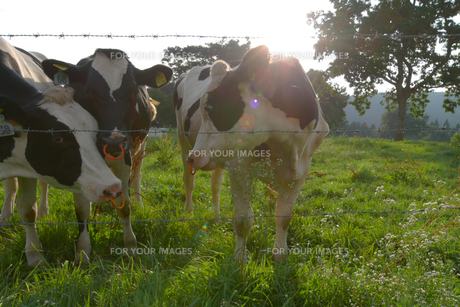 三頭の牛の写真素材 [FYI00439342]