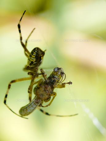 蜘蛛の巣とバッタの写真素材 [FYI00439346]