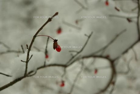 雪の日の赤い木の実の写真素材 [FYI00439349]