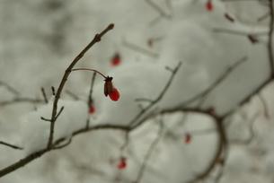 雪の日の赤い木の実の素材 [FYI00439349]